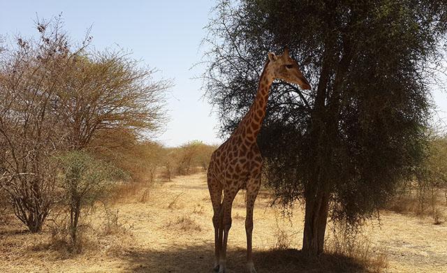 giraffe at bandia reserve senegal