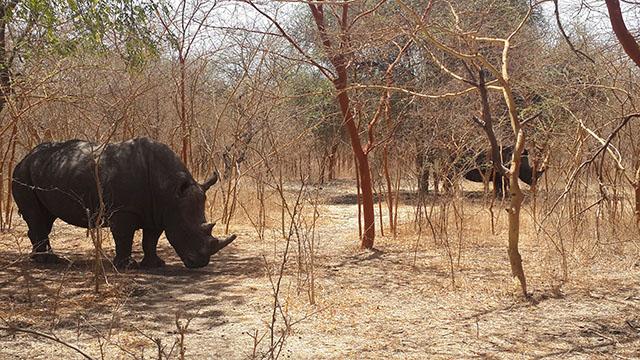 rhinoceros at bandia reserve senegal