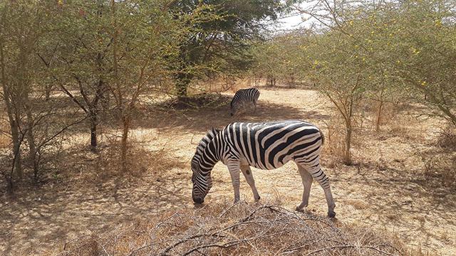 zebra in bandia reserve senegal
