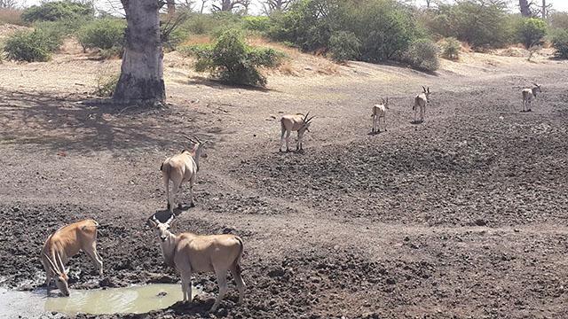cape eland in bandia reserve senegal